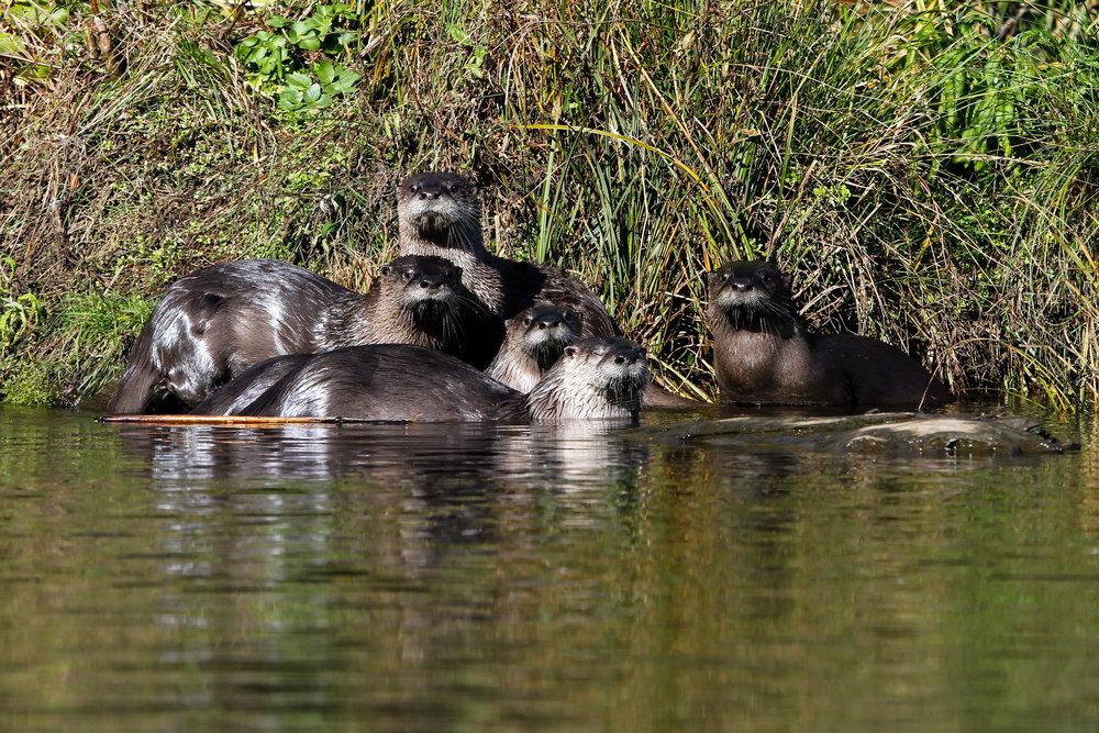 otter rock otters.jpg