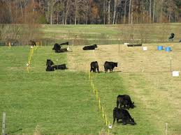 Strip grazing using temporary fencing