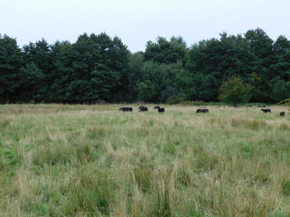 Sheep grazing on the Breckland at Thompson,