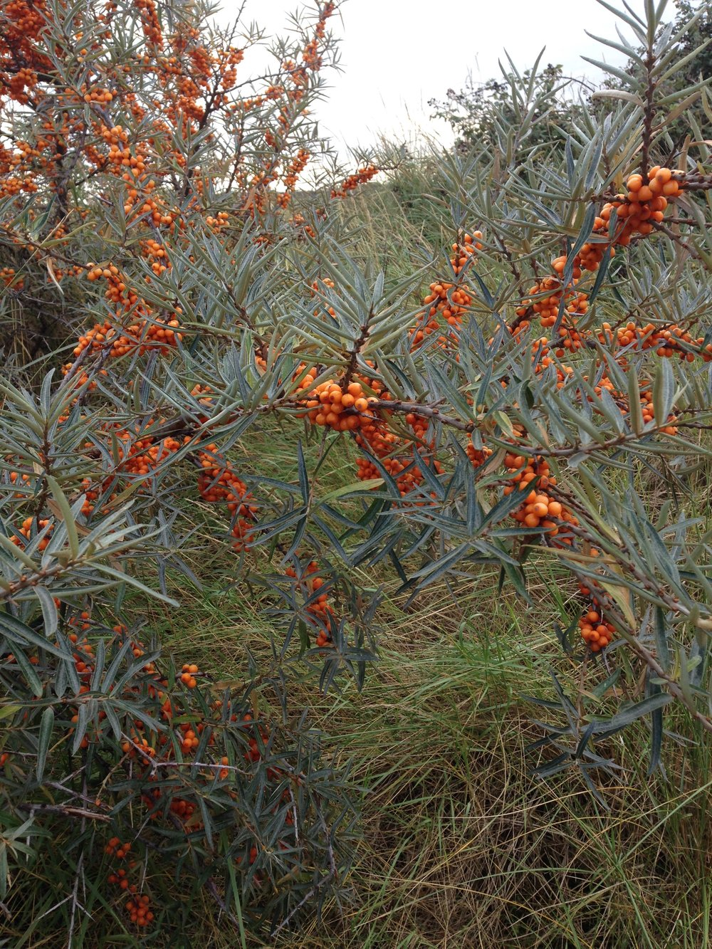 Sea buckthorn grows on the dunes