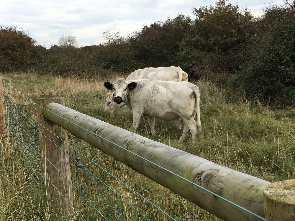 White Park cattle with some Dodd and Co fencing