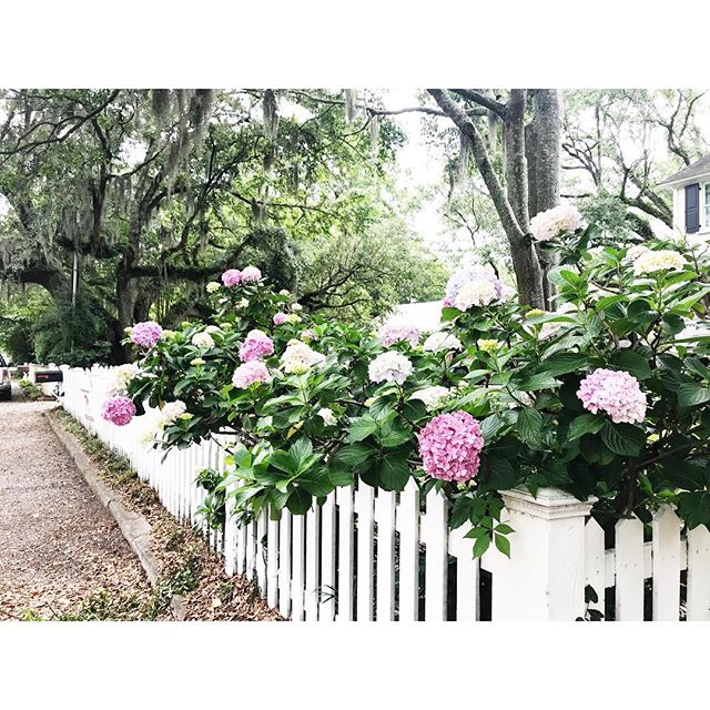 Mount Pleasant blooms 🌸  #abitofcharleston #charleston #explorecharleston #hydrangea #hydrangeas #oldvillage #mountpleasant #mtpleasant #chs #chstoday #sunday #vscocam #vsco #instadaily #yardgoals