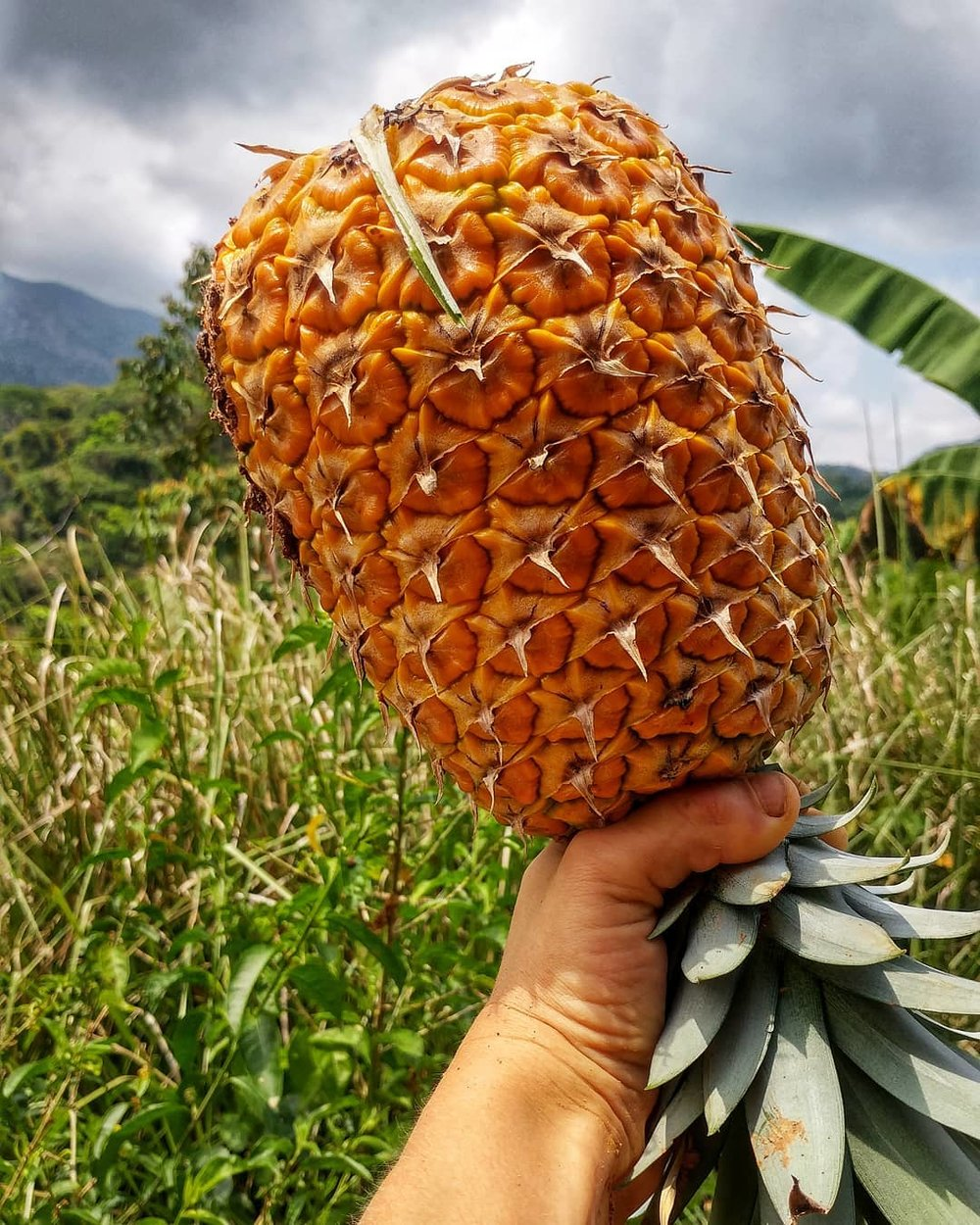 Local organic pineapple