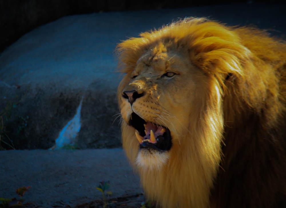 Lion Photo.jpg