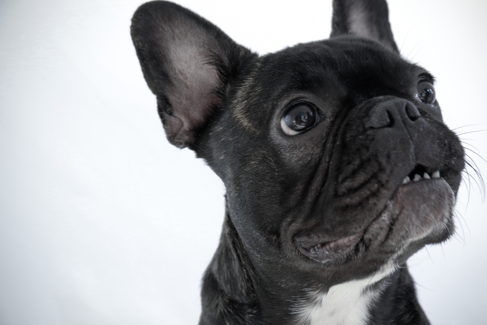 Frenchie Portrait