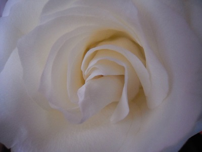 Center White Pink Rose by Halina - resized.jpg
