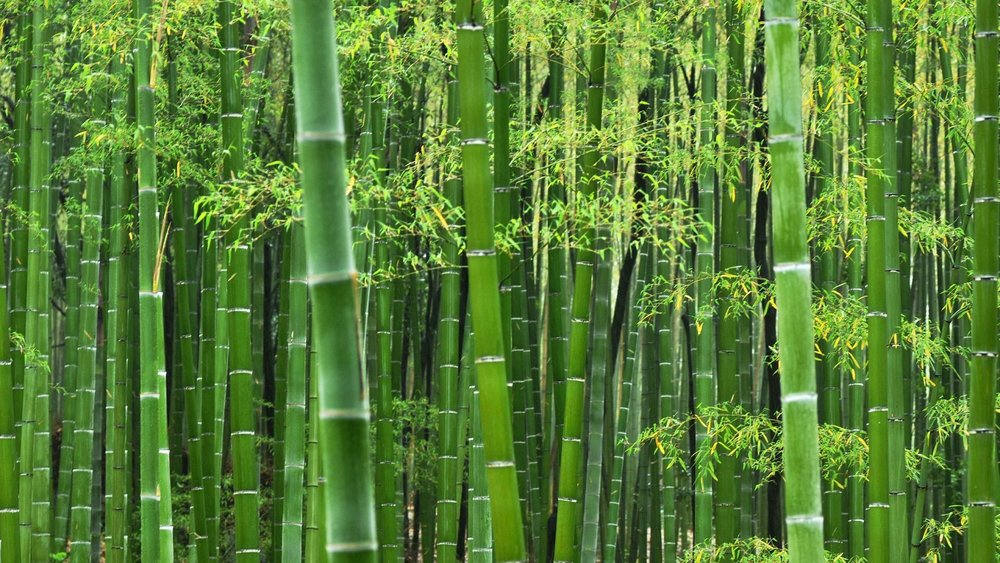 Bamboo HD background.jpg
