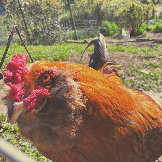 #winery #chicken #natureart #guerneville #northcoast #california