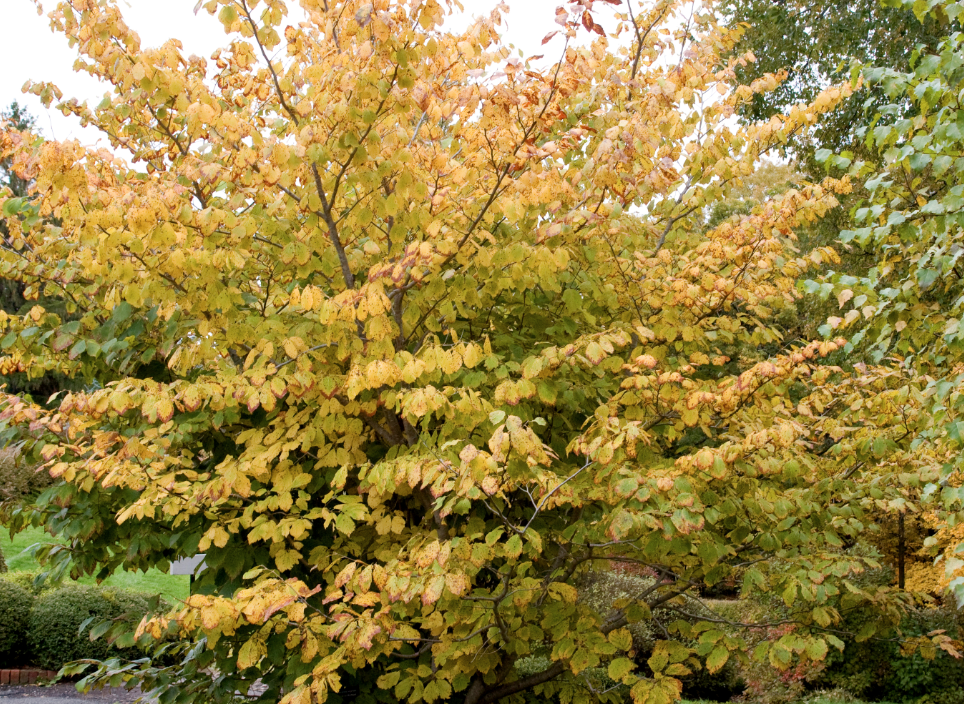 Its textured green foliage and fall color put on their own show when the shrub is not in bloom