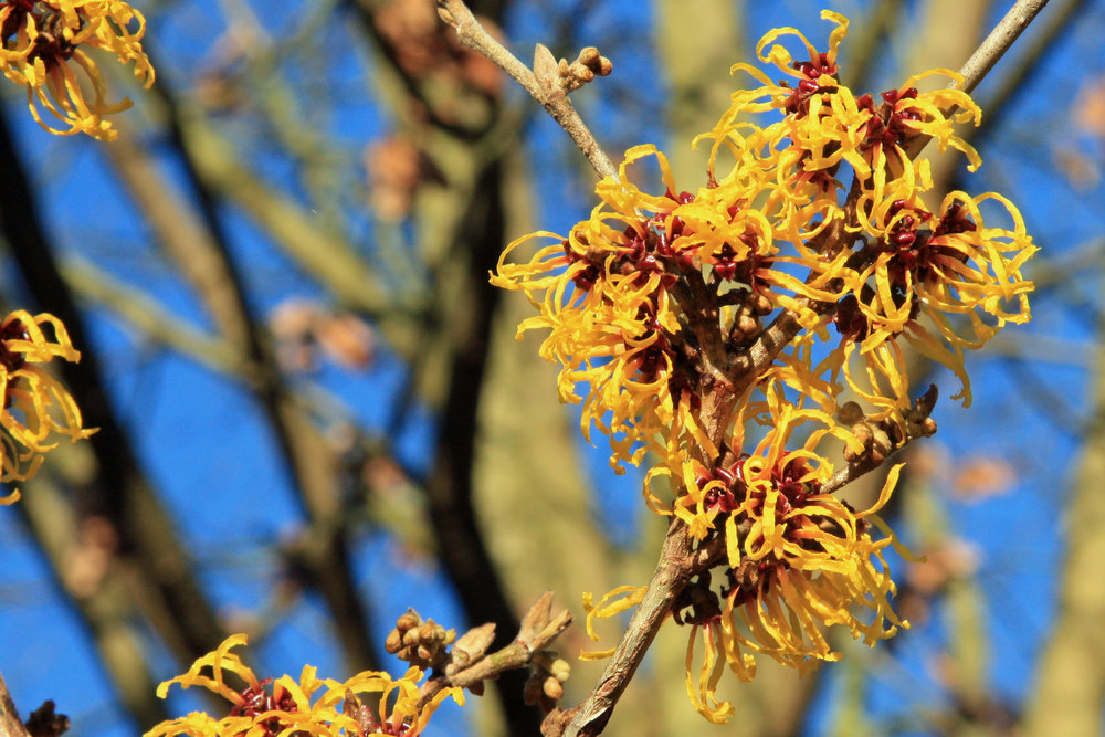 The colorful and fragrant blooms of a witch hazel shrub