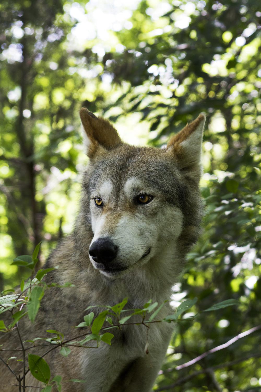 wolf2clean.jpg