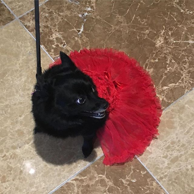 Happy Tutu Tuesday! The world is YOUR runway! (Doesn't it look like this pup was modeling?!) . . . #tututuesday #dogtutu #ownit #bravetutu #takenotice #takecourageindelight #powerinsmallmoments #latergram from #txla18 @txla_1902 @omnidallas #whoworeitbest #pup #cutepuppies #twirlskirt #illtakeone