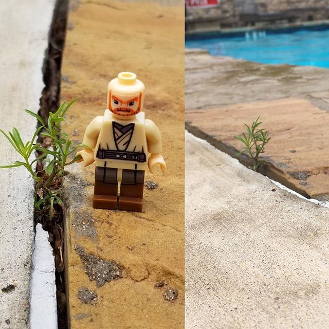 """May your weekend be as happy as I was to get this picture! I took the one on the right after exclaiming to my neighbors """"I found a little tree!"""" My buddy Travis took action! """"I have a LEGO man we can put next to it!"""" I love minis and people who """"meet me"""" in this world to #delight in #smallmoments and a #smalltree 🌳! . . . #bravetutu #takecourageindelight #powerinsmallmoments #tiny #tinytree #lego #little #happylittlemoments #poolside #poolchillin #happyweekend #friday #fridaymood #neighbors #neighborsandfriends"""