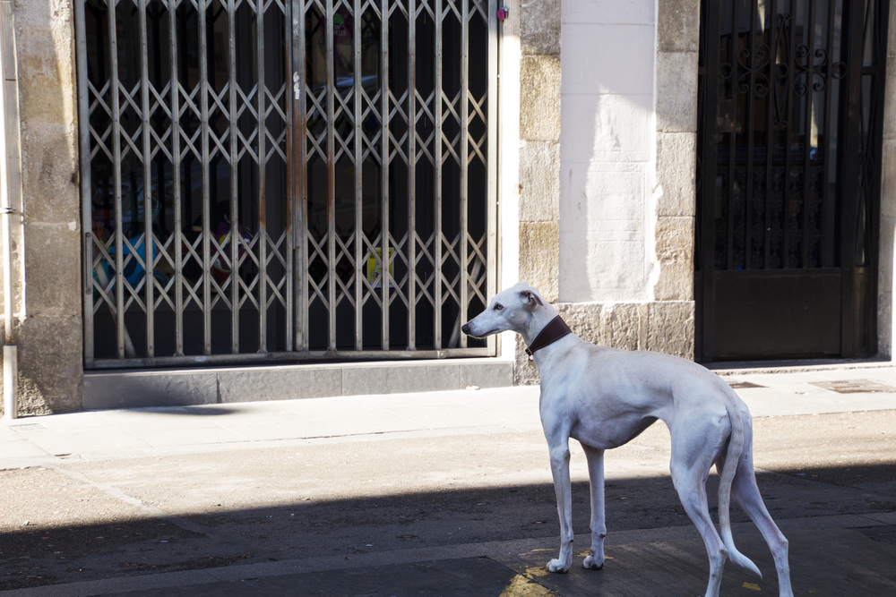 Spanish Greyhound.jpg