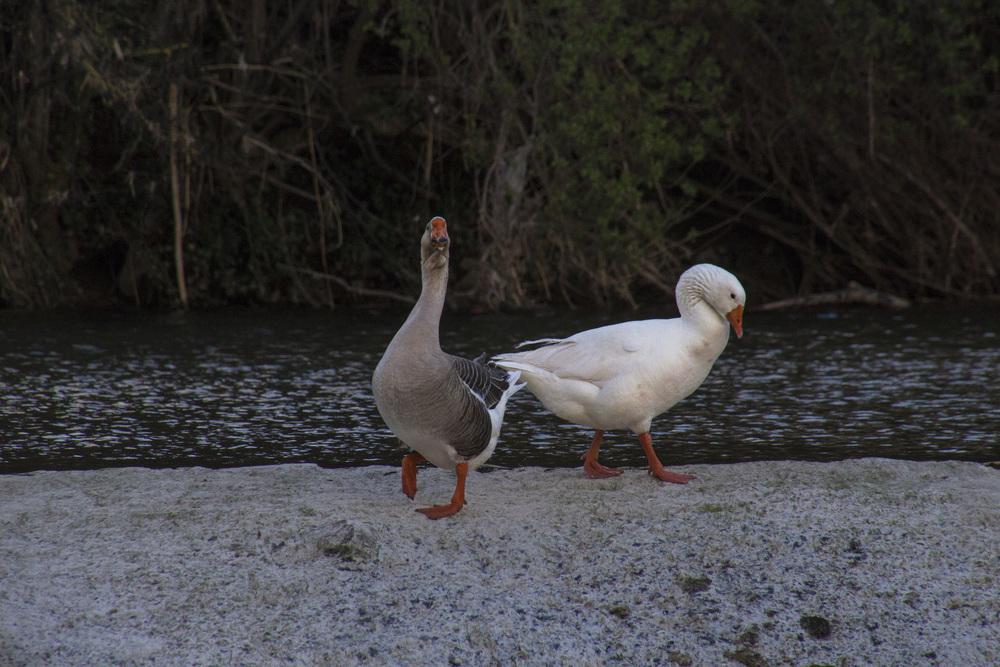 Hey Geese.jpg