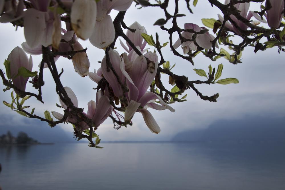 LakeGeneva Magnolia.jpg