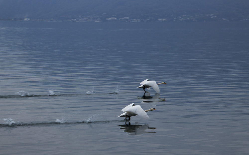 SynchronizedSwans.jpg