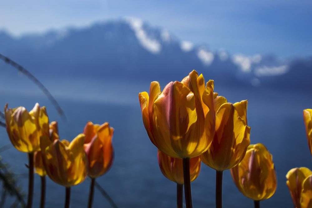 lake geneva tulips.jpg