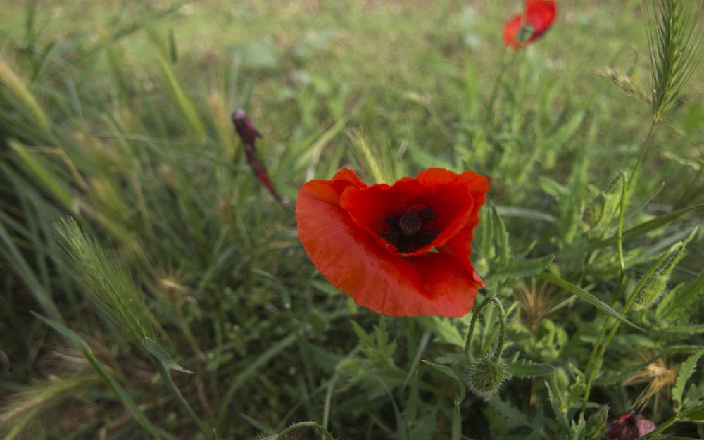 Casavells poppy.jpg