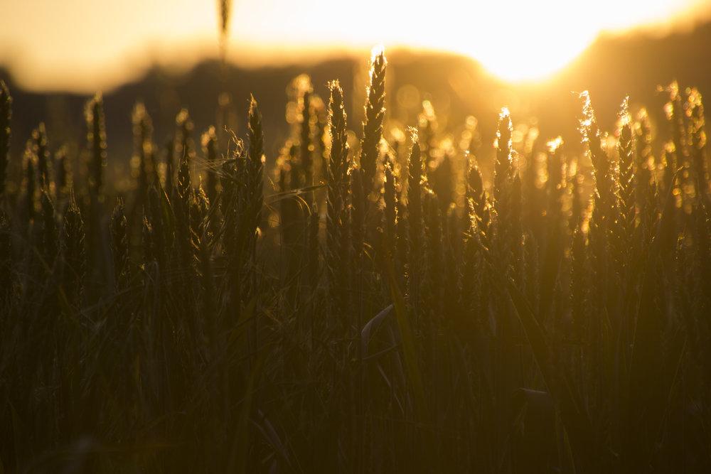 Pueblo Arganzon- Golden Grass 3.jpg