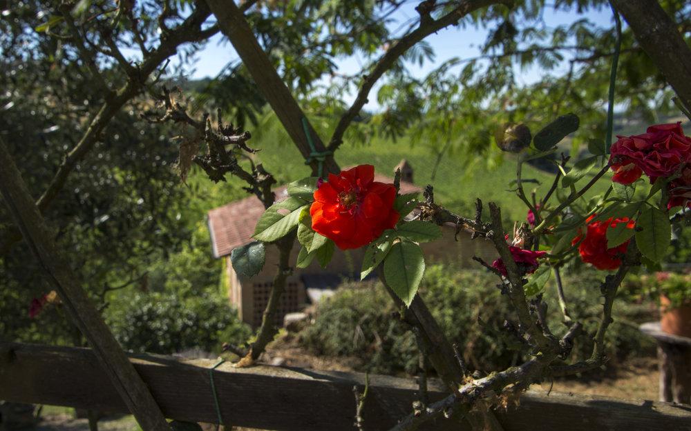 Florence rose.jpg