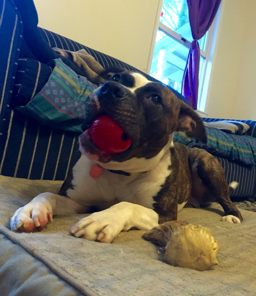 A soft bed, hard ball, and forever home- that's all this boy is looking for.