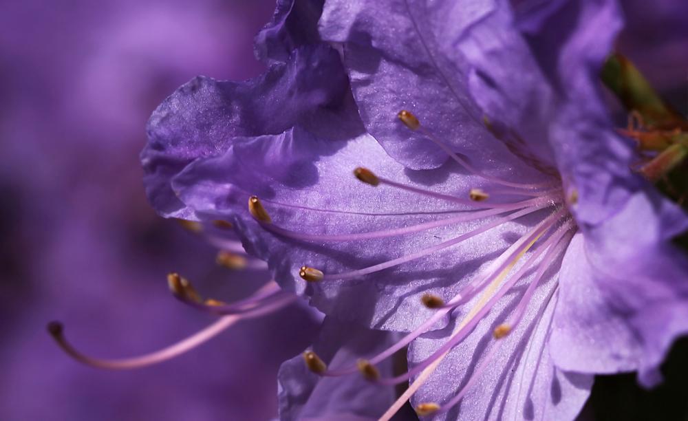 Lilac World