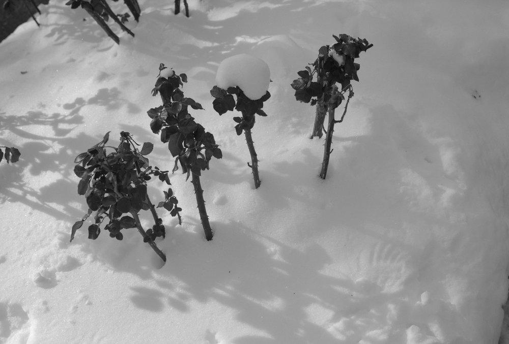 10_rosebush_snow_asbury.jpg