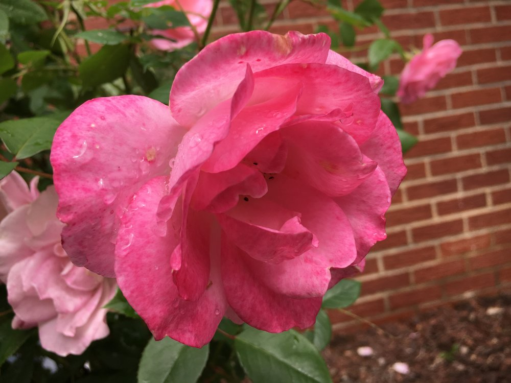 Days of rain and roses.