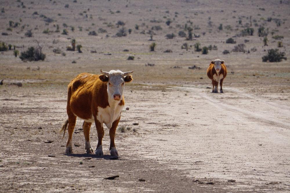 Cattle Ranch outside of Marathon, Texas