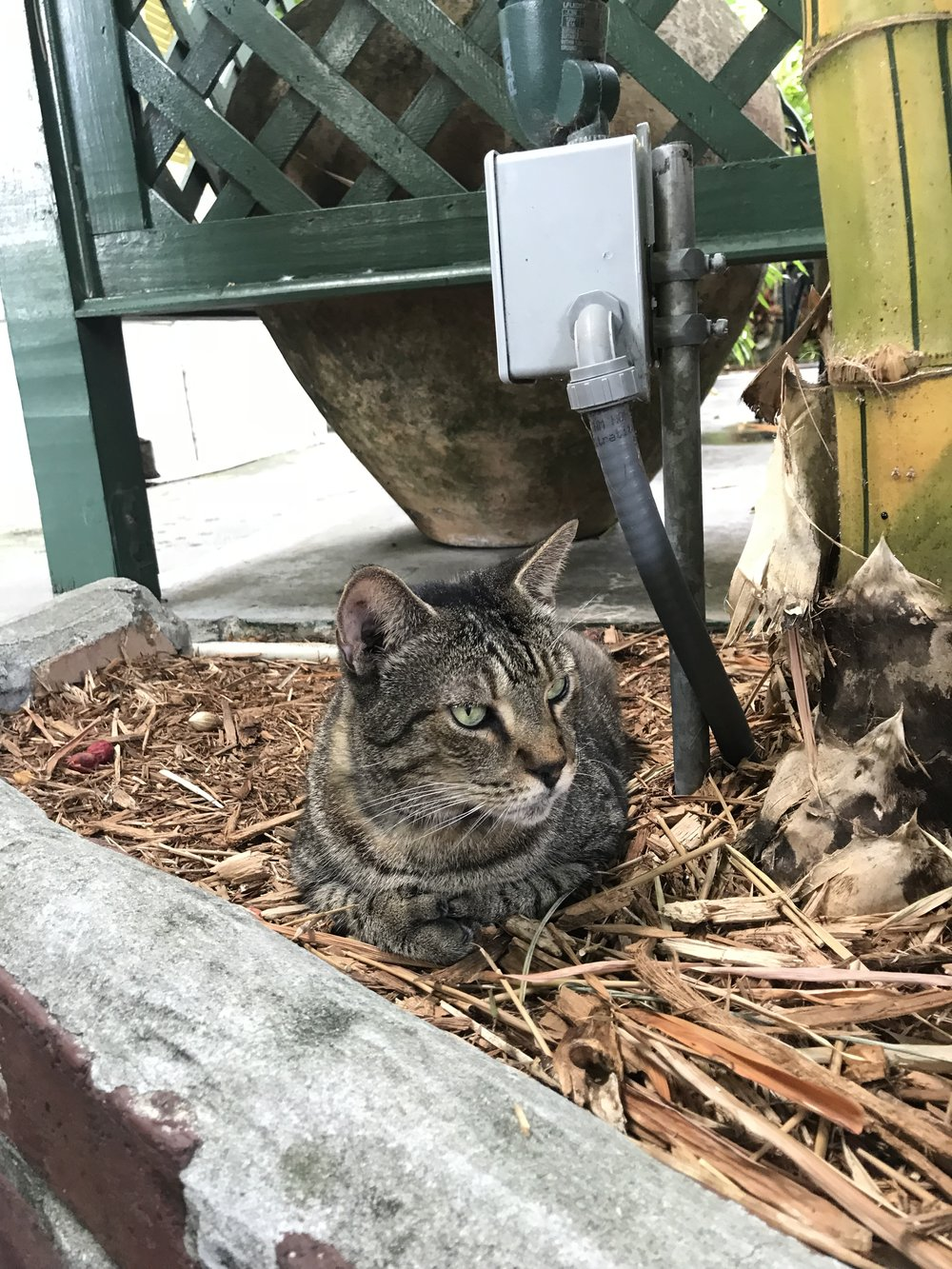 One of the many cats at the Hemingway House