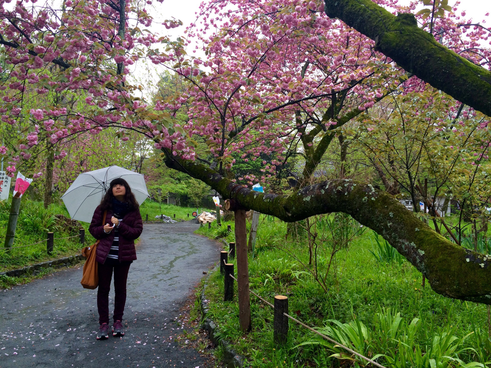 Cherry trees in the rain!