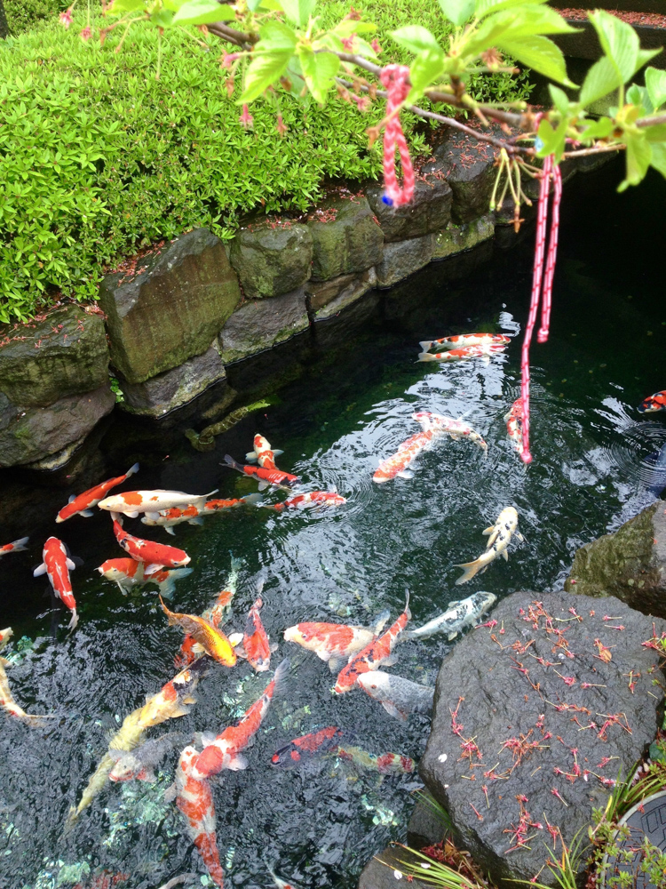 Beautifully colored koi fish.