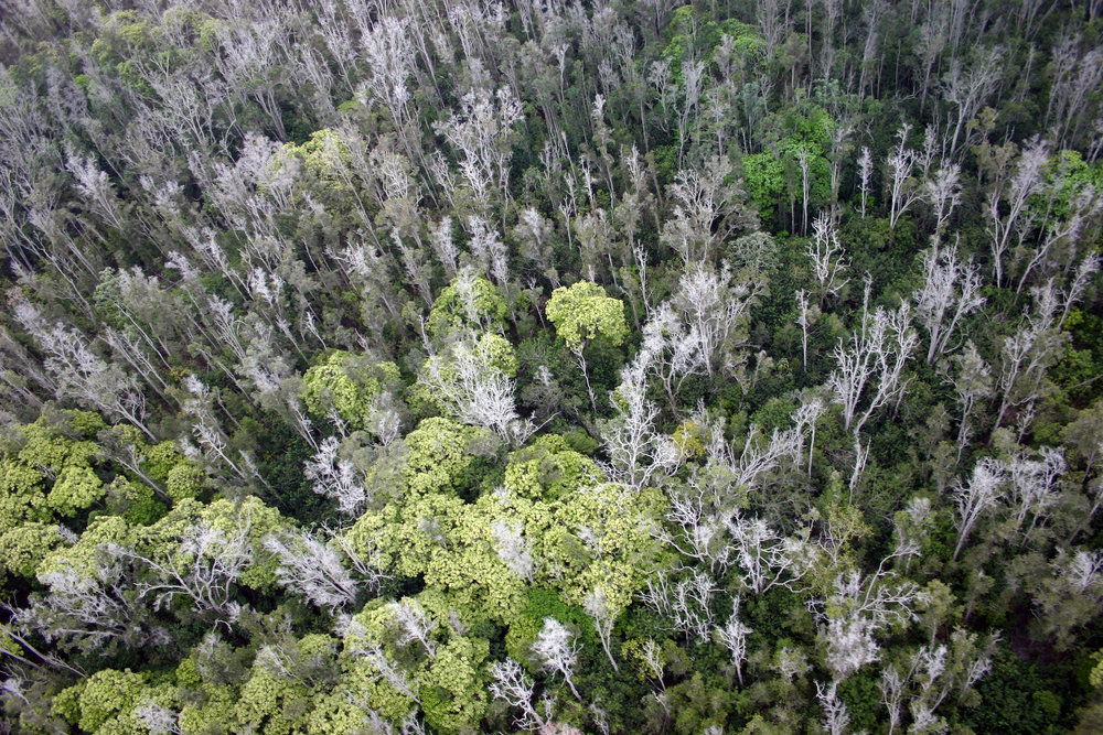 A sea of dead ʻōhiʻa trees is visible during a helicopter survey of Manukā State Wayside Park on Hawaiʻi Island. (Photo © Jared Bernard)