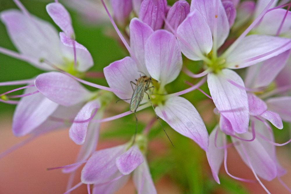 A mosquito pollinates a rare  Cleome  flower in southeastern Alberta. (© Jared Bernard)