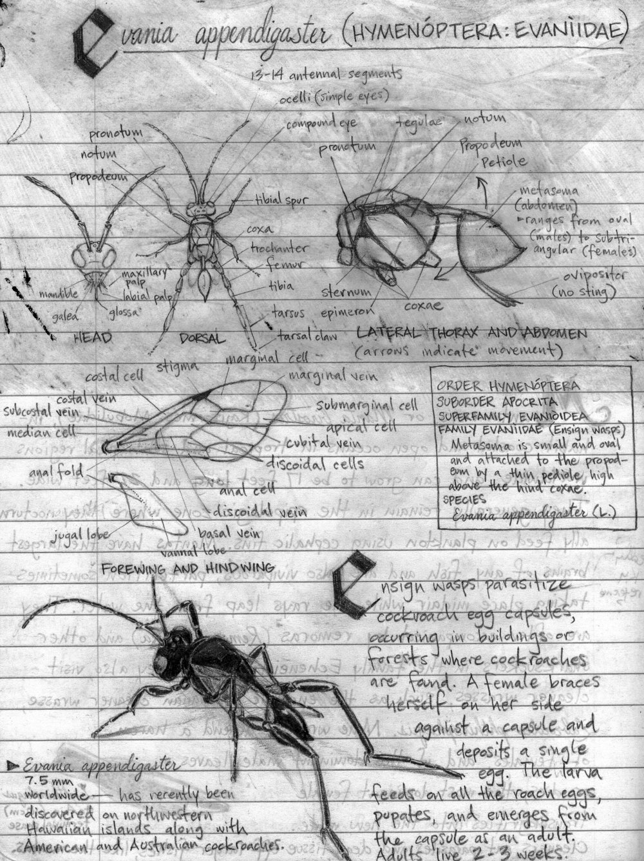 Evania appendigaster Sketches.JPG