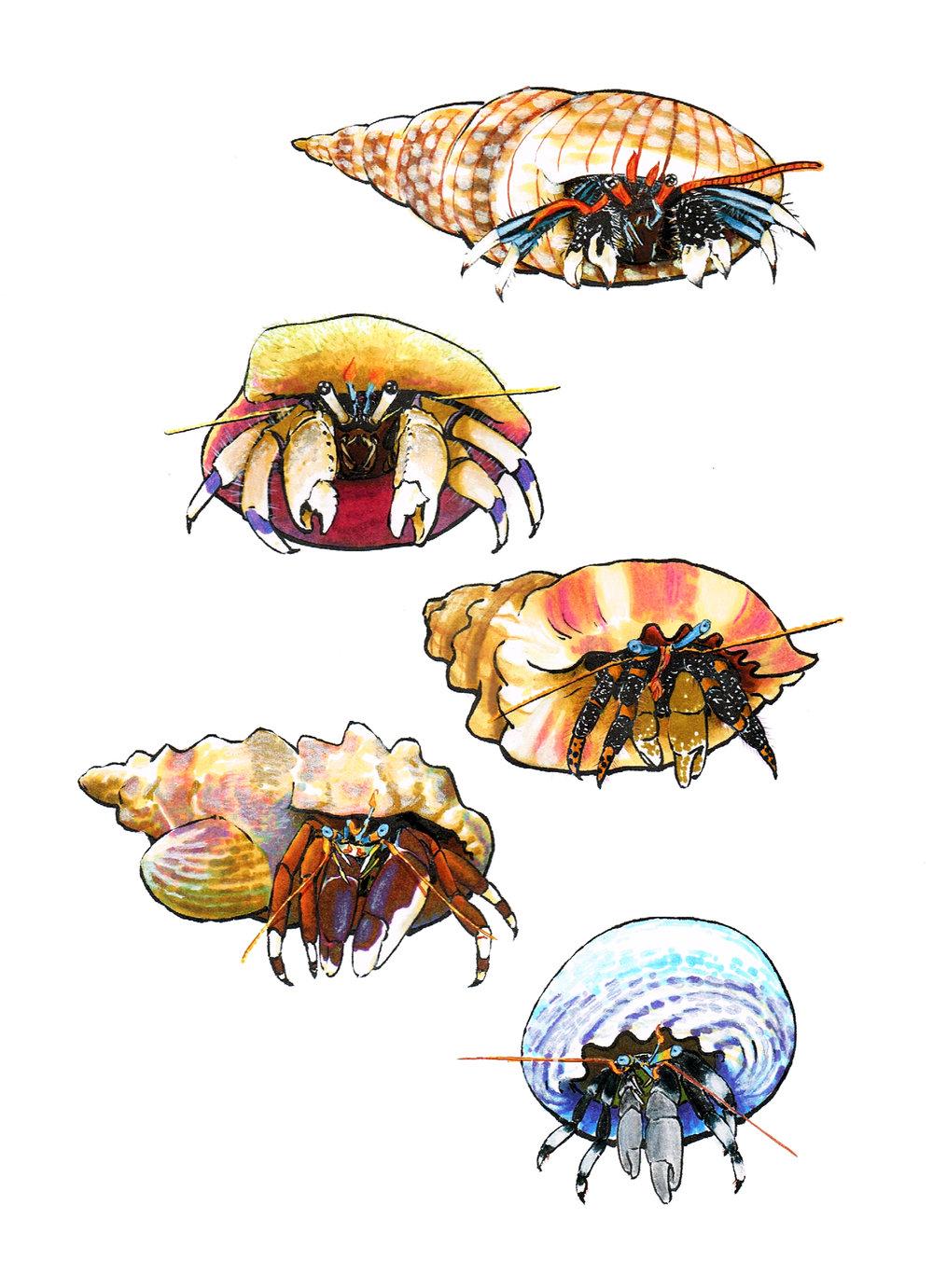 Hermit Crabs of Hawai`i.jpg