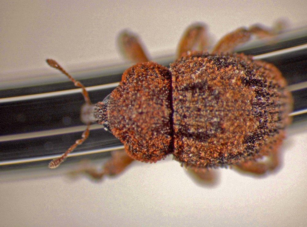 Acalles tuberculatus in Panaʻewa, Hawaiʻi 2004