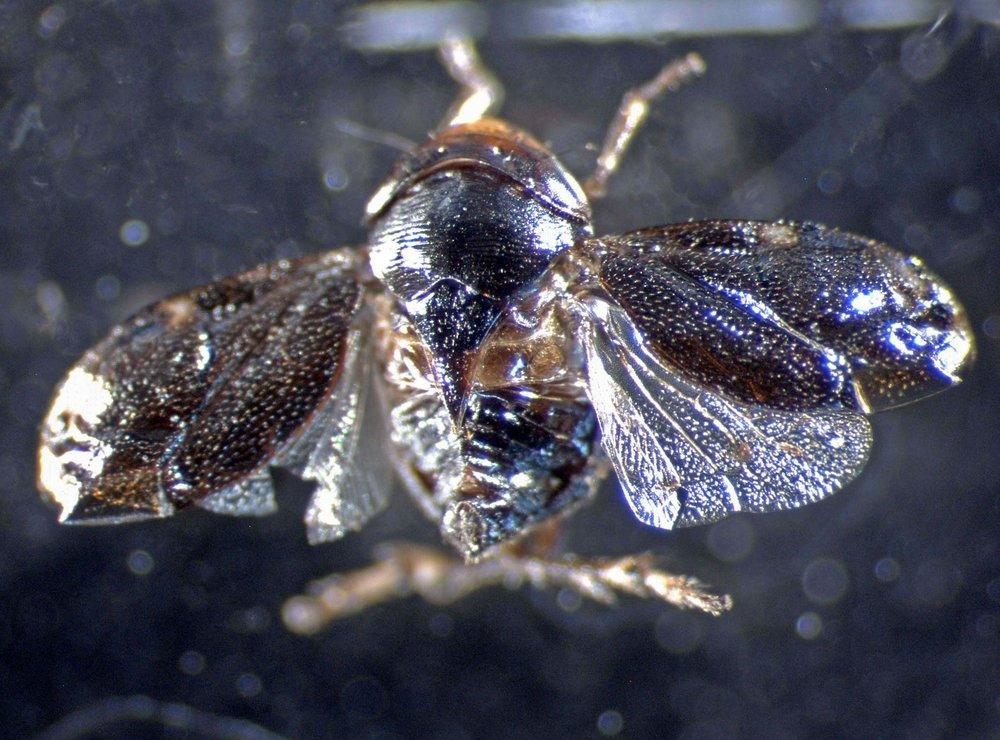 Clastoptera xanthocephala in Hilo, Hawaiʻi 2003