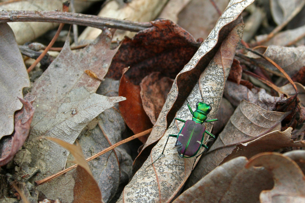 Cicindela splendida in Shenandoah NP, Virginia 2011