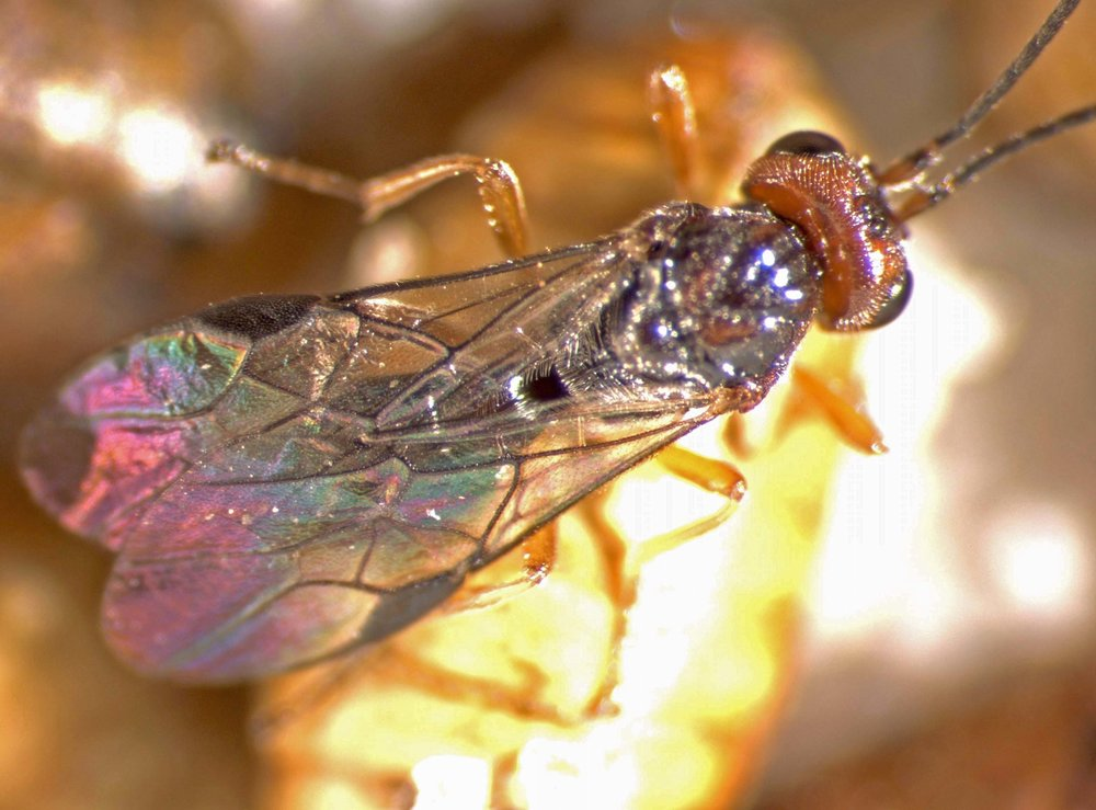 Fopius arisanus on Bactrocera dorsalis pupa in Panaʻewa, Hawaiʻi 2003