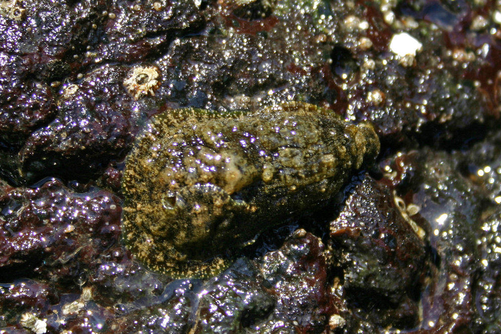 Dolabrifera dolabrifera in Richardson Bay, Hawaii 2004