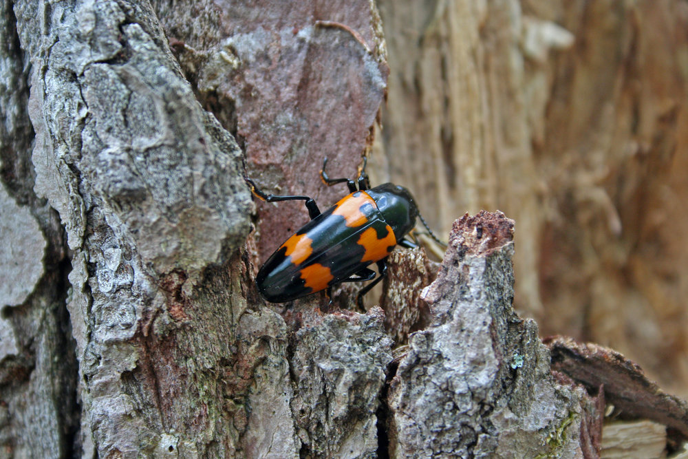 Megalodacne heros in Shenandoah NP, Virginia 2011