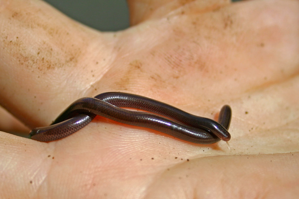 Brahminy blind snake ( Indotyphlops braminus ) in Wailua River State Park in Hilo, Hawaiʻi 2004. (Photo © Jared Bernard)