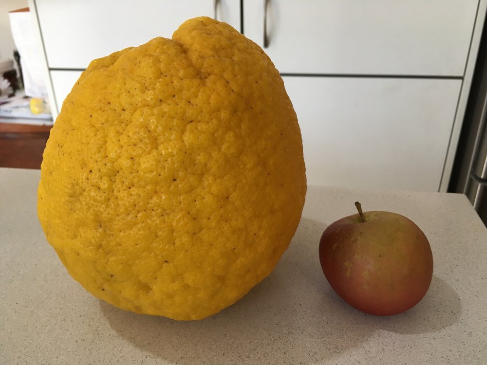 My oversized grapefruit next to an ordinary sized apple.