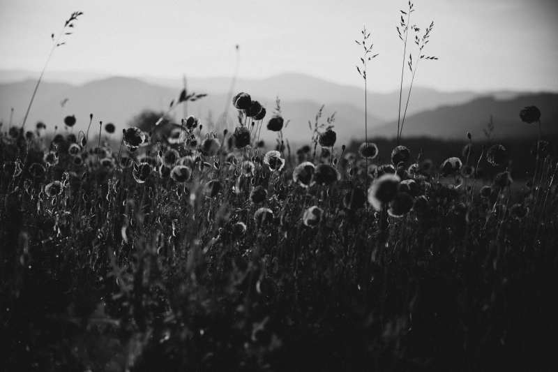 poppy field black and white