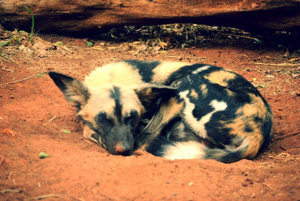 African_Wild_Dog_(5213912820).jpg