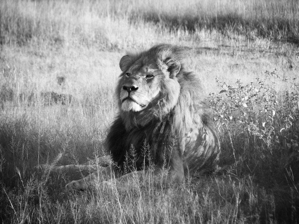 Cecil_the_lion.jpg