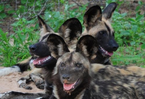 african-wild-dog-endangered-species-wild-animals-807684.jpg