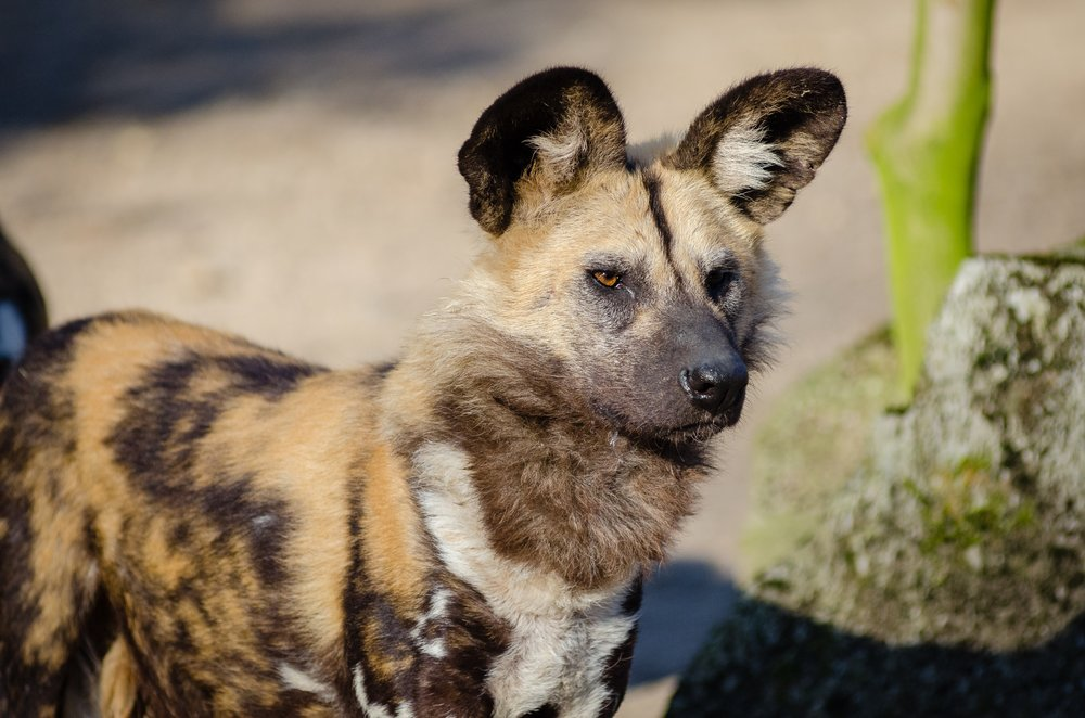 african-wild-dog-animal-animal-photography-146037.jpg